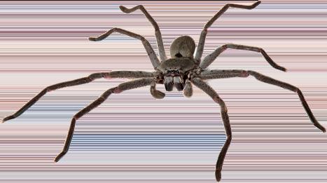australia-huntsman - Zero Pests Australia